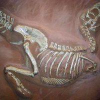 Tarbosaurus_museum_Muenster